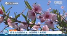 南京:樱花桃花提前绽放 吸引绣眼鸟来采蜜
